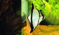 Thông tin và kỹ thuật nuôi cá cánh dơi