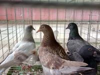 Kỹ thuật nuôi chim Bồ câu làm giống