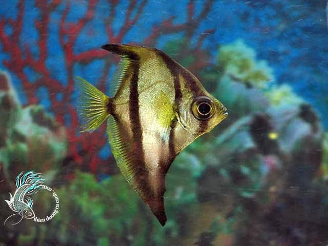 Các loại cá cảnh nước ngọt dễ nuôi