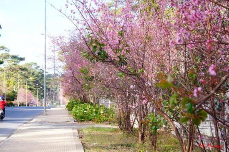 Top 5 địa điểm ngắm Mai anh đào Đà Lạt