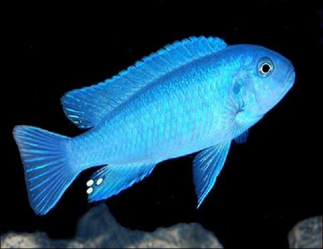Hình ảnh cá ali xanh