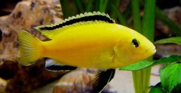 Hình ảnh Cá Ali vàng- Hoàng tử Phi – Yellow prince