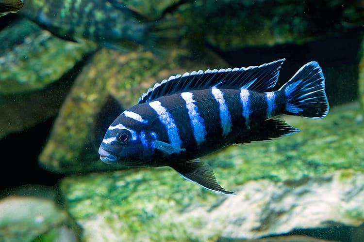 Hình ảnh cá ali xanh vằn