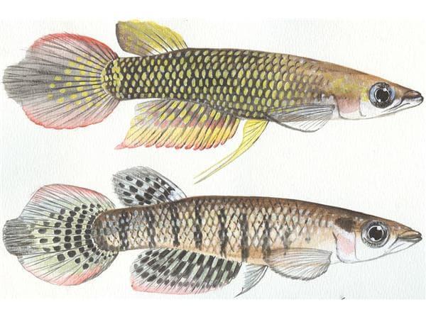 Hình ảnh cá bạc đầu