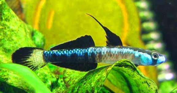 Hình ảnh cá bóng rồng