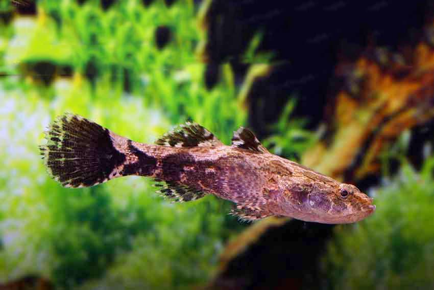 Hình ảnh cá bống tượng cảnh