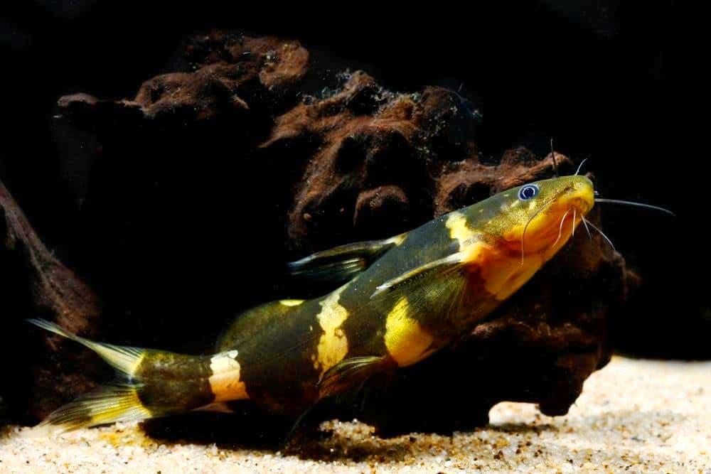 Hình ảnh Cá chốt bông