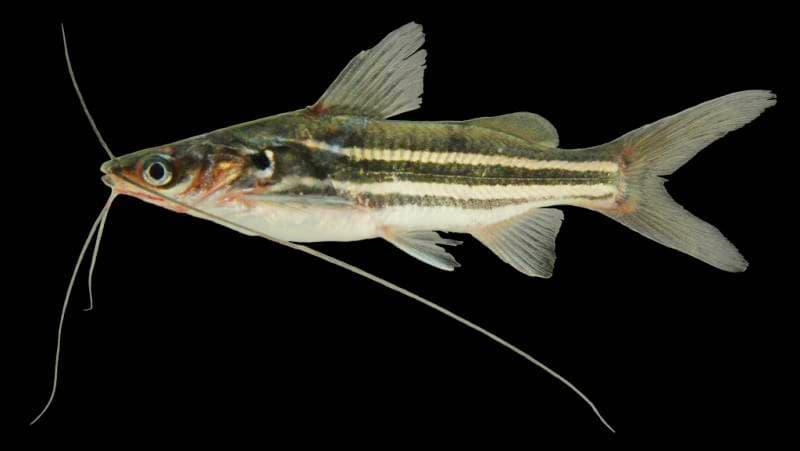 Hình ảnh Cá chốt sọc - Cá chốt vạch