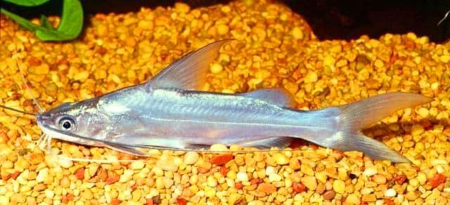 Hình ảnh Cá chốt trắng