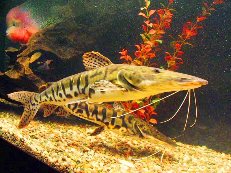 Hình ảnh Cá Da báo mỏ vịt Tiger catfish