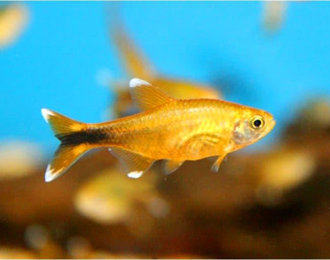 Hình ảnh cá đuôi đèn tetra, nana