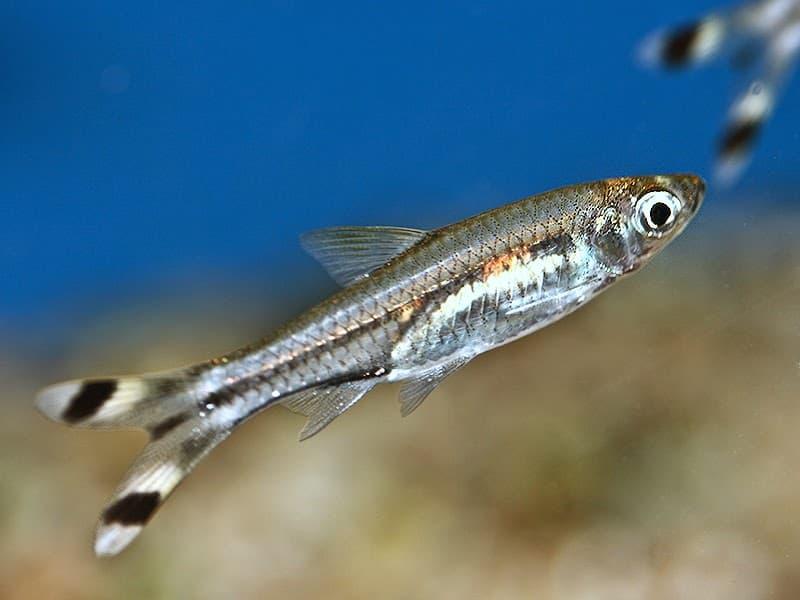 Hình ảnh cá đuôi kéo lớn