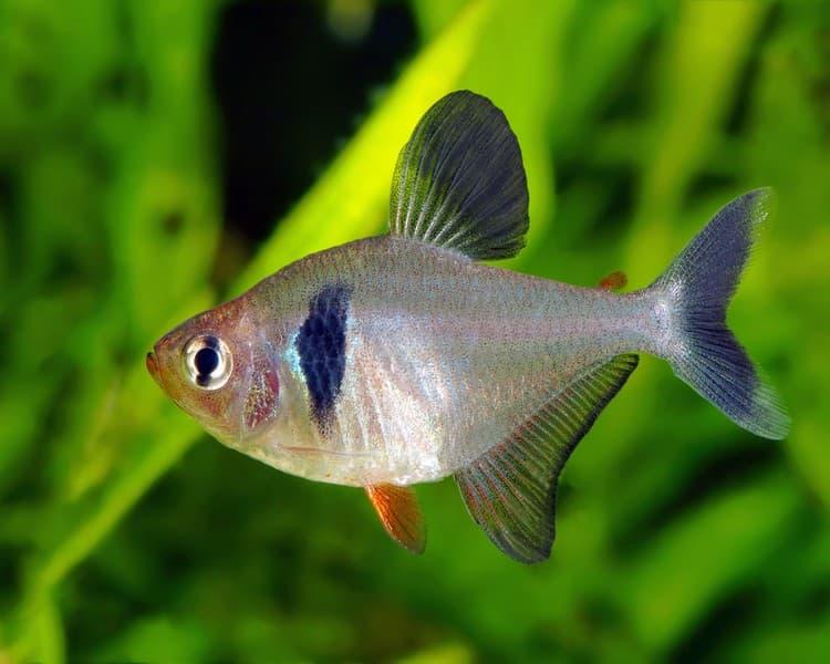 Hình ảnh cá hắc kỳ
