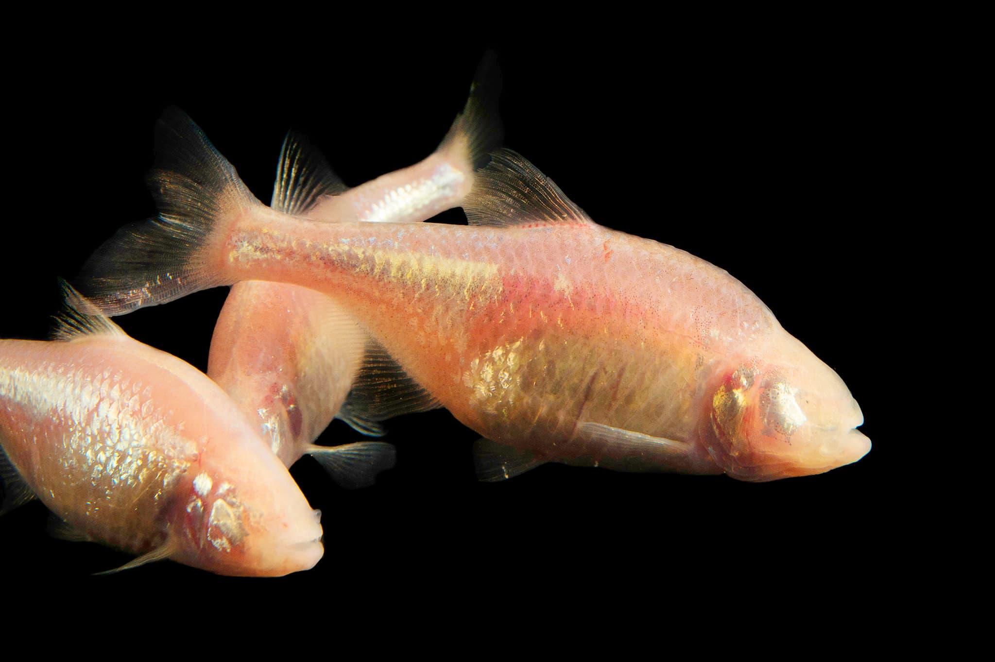 Hình ảnh cá hang động mù