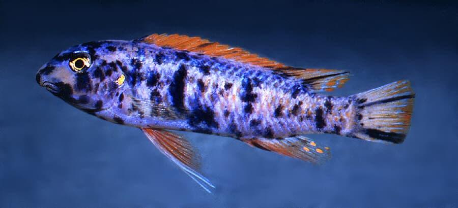 Hình ảnh cá hề bông, cá ông hề bông