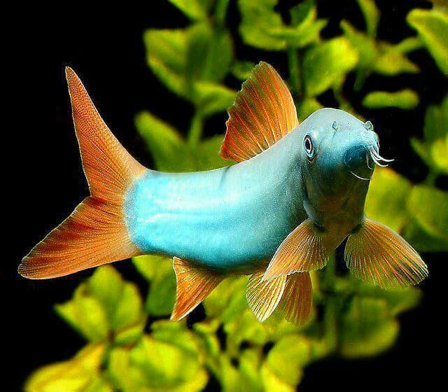 Hình ảnh cá heo xanh đuôi đỏ