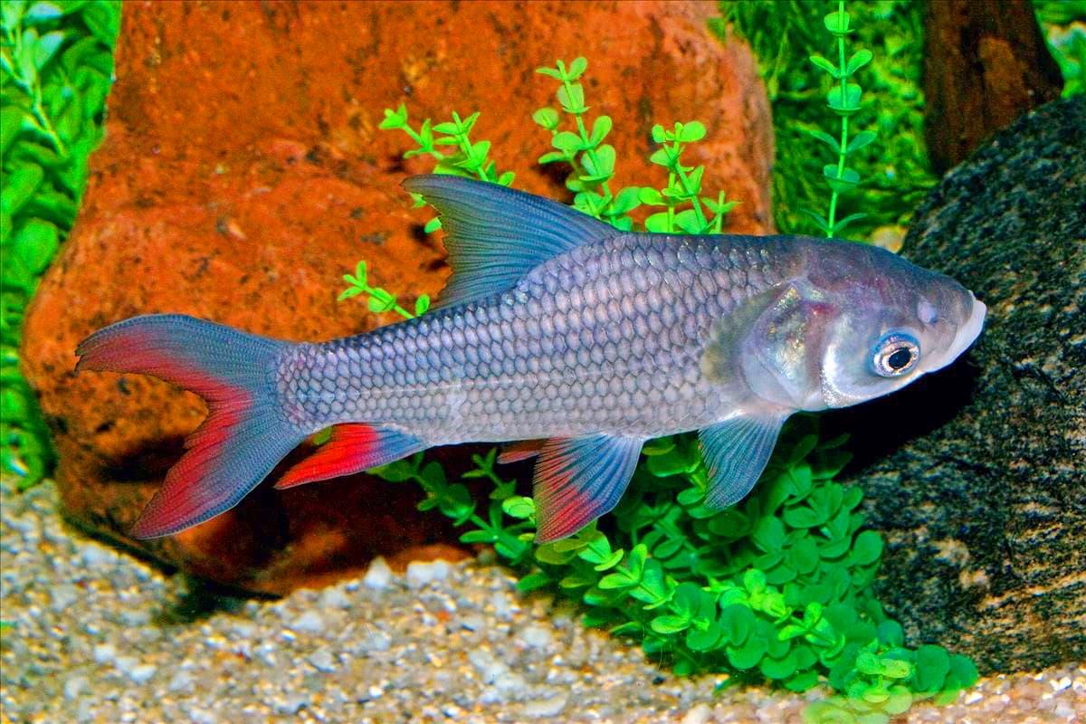 Hình ảnh cá hô