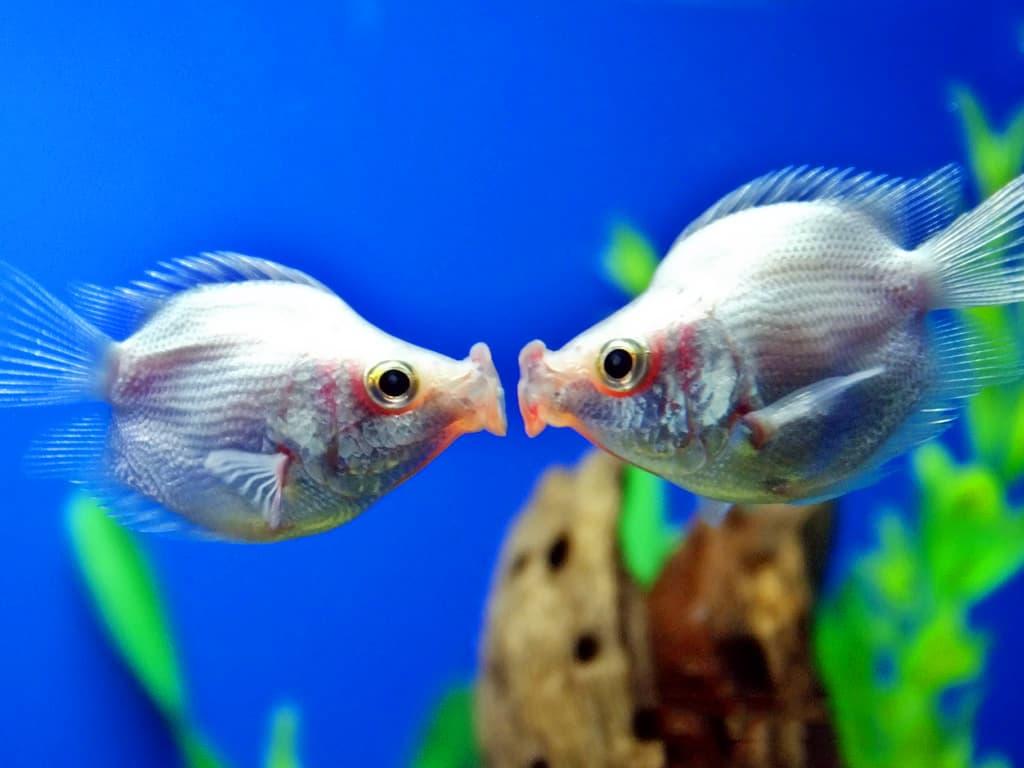 Hình ảnh cá hôn nhau