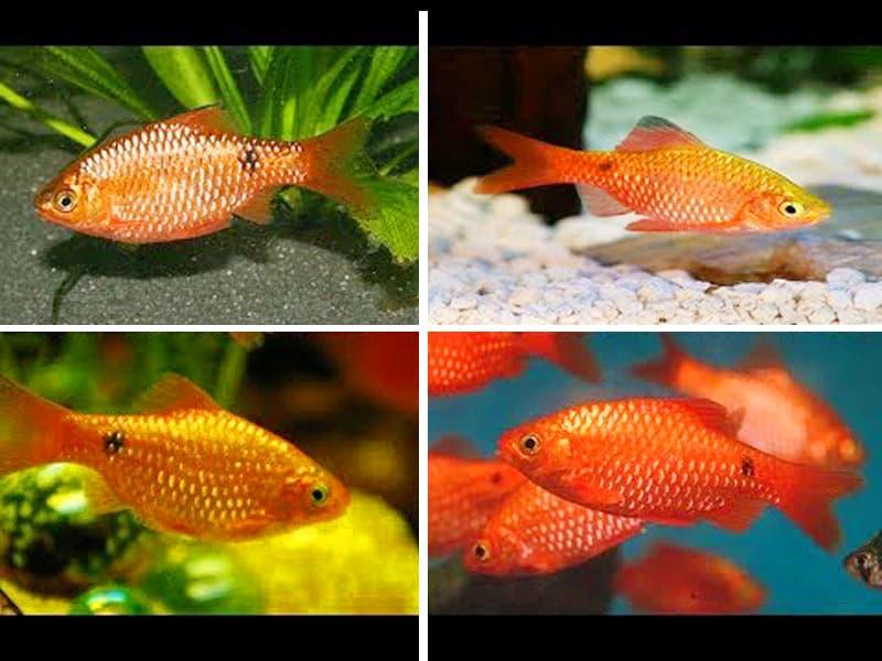 Hình ảnh Cá Hồng cam, Hoa hồng - Rosy barb, Red barb ( hỉnh ảnh sưu tầm đã chọn lọc những chú cá hàng độc VIP đuôi dài, hiện chưa có ở Việt Nam)