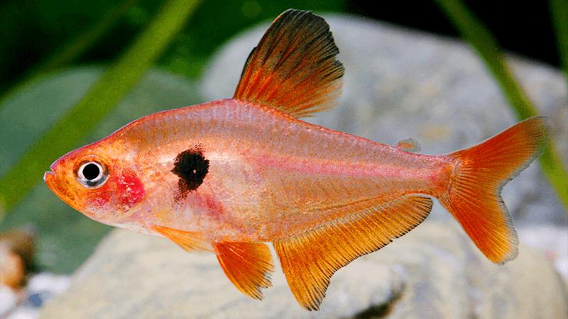 Hình ảnh Cá hồng nhung, hồng tử kỳ