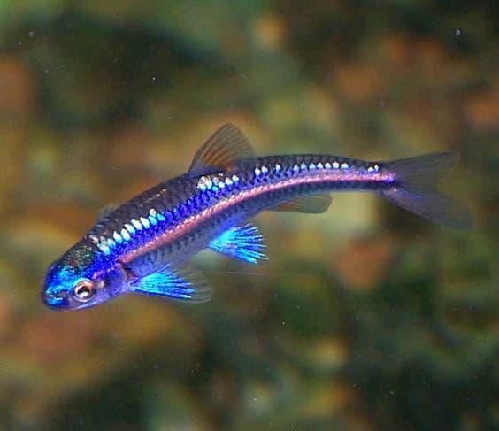 Hình ảnh cá bảo liên đăng