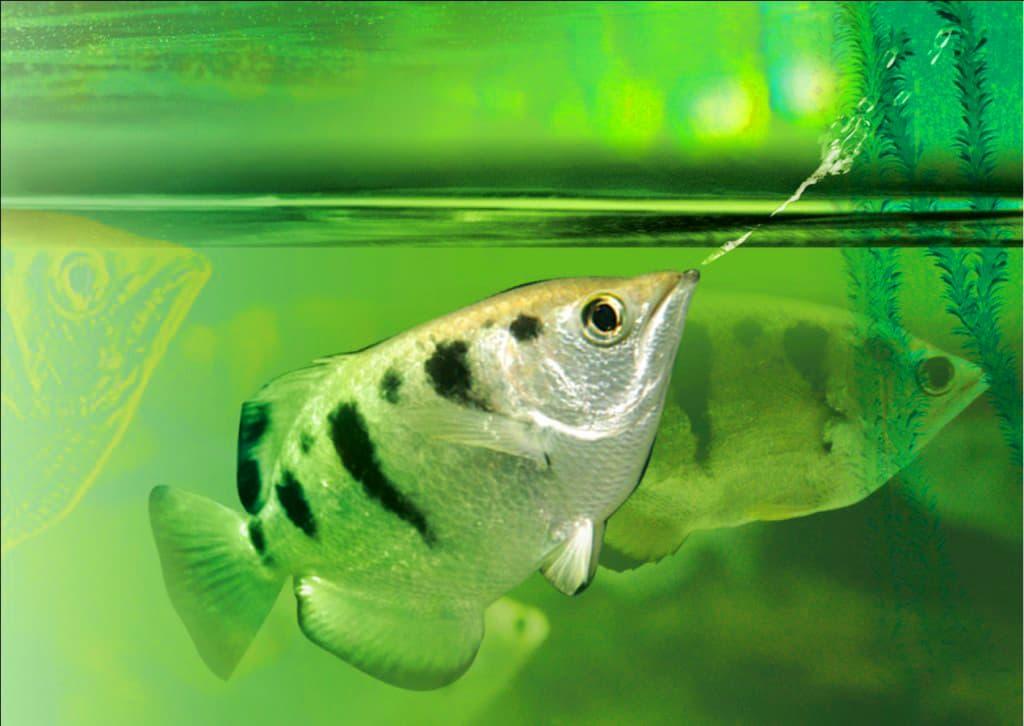 Hình ảnh cá cao xạ pháo, cá mang rỗ