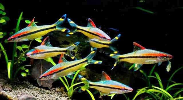 Hình ảnh cá hồng mi ấn độ, cá tên lửa