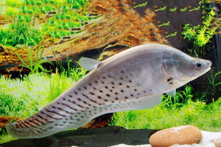 Hình ảnh Cá Còm da báo - Tiger clown knifefish