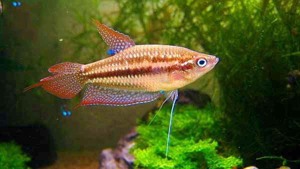 Hình ảnh cá thanh ngọc, cá bãi trầu