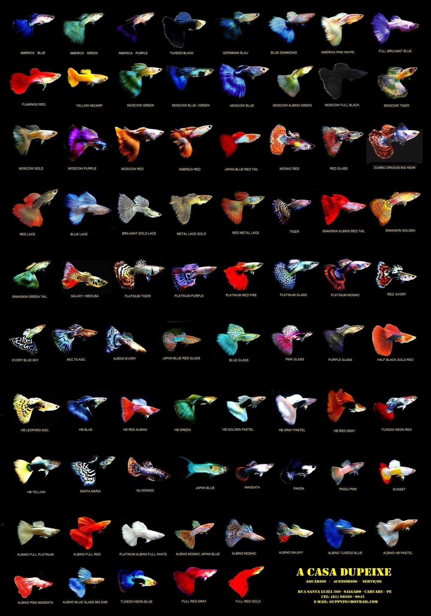 Hình ảnh cá bảy màu - Guppy