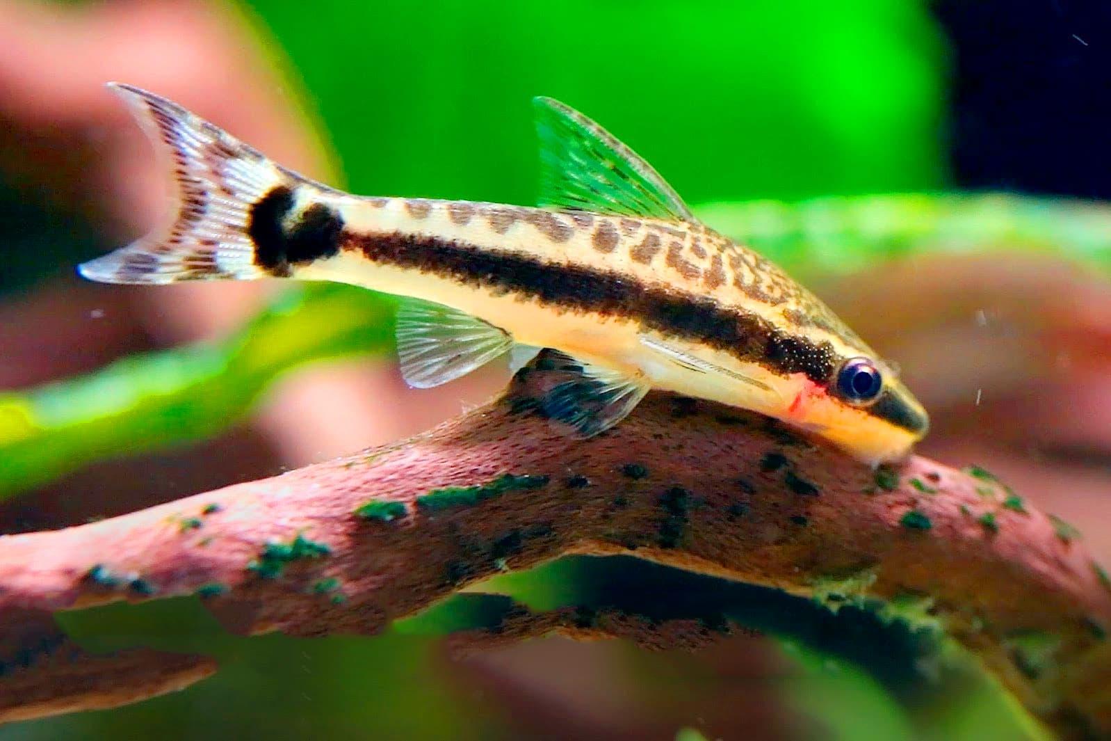 Hình ảnh về cá chuột otto