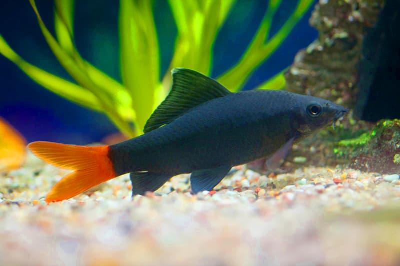 Hình ảnh cá chuột thái, lebeo đuôi đỏ