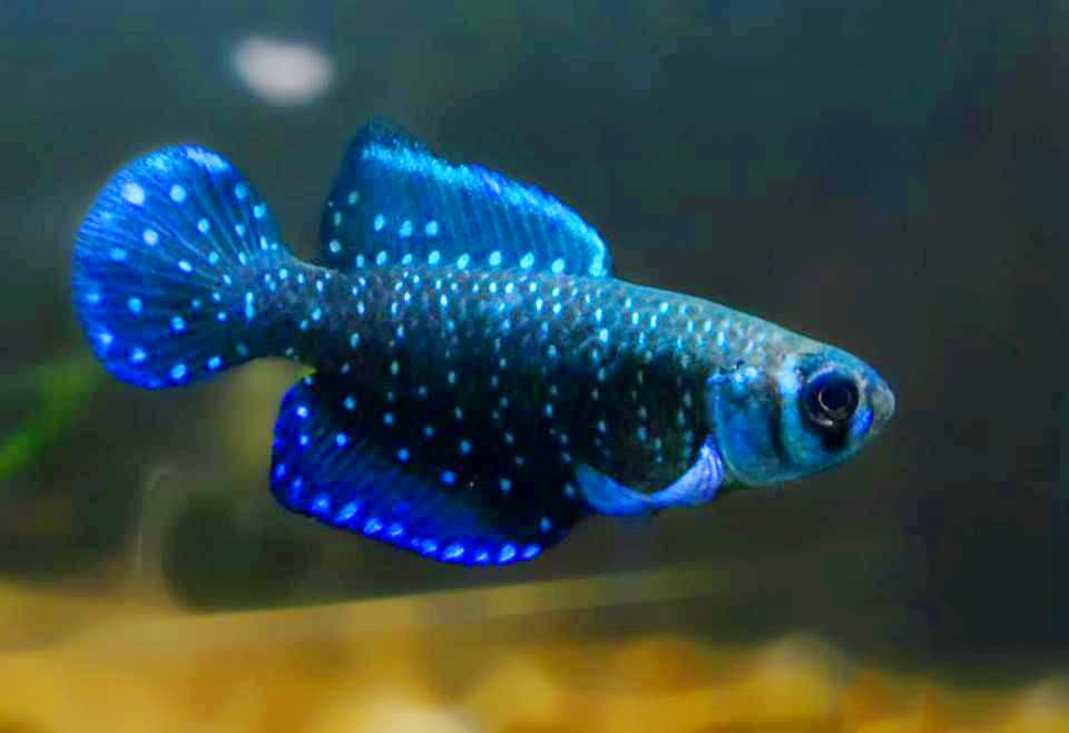Hình ảnh Cá ngọc trai đen