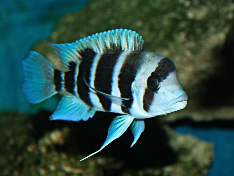 Hình ảnh cá đầu bò, cá kỳ lân