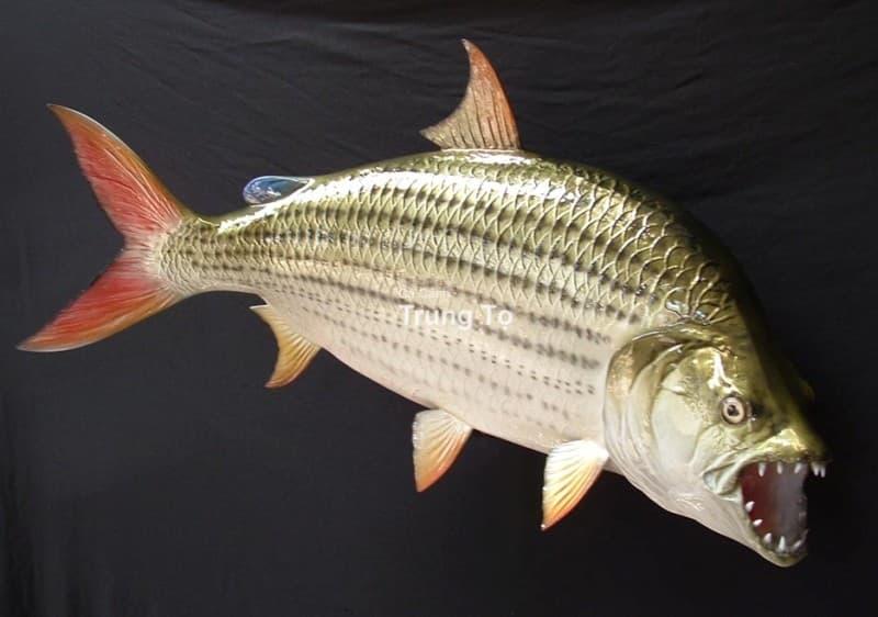 Hình ảnh Cá hổ Tigerfish Goliath