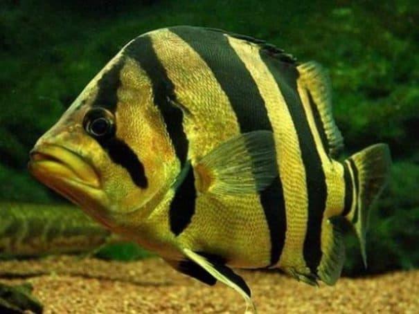 Hình ảnh Cá hổ thái