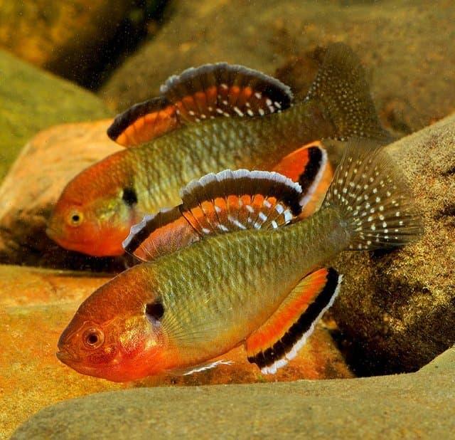Hình ảnh Cá khỉ đỏ đầu gù