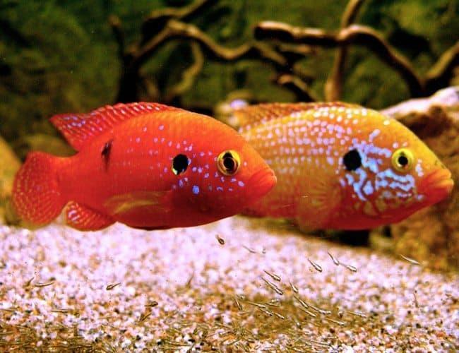 Hình ảnh cá kim cương đỏ, hồng bửu xẹt