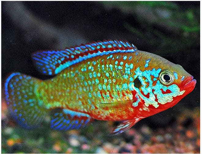Hình ảnh cá kim cương xanh