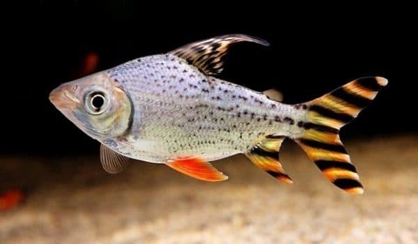 Hình ảnh cá kim sơn, kim ngân