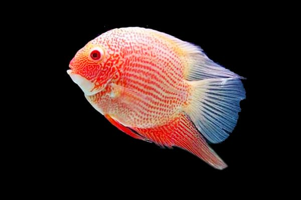 Hình ảnh cá kim thơm