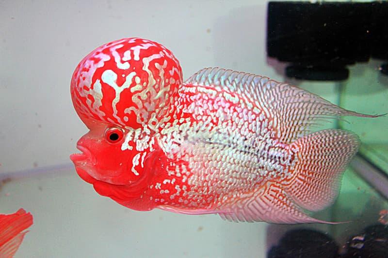 Hình ảnh cá la hán