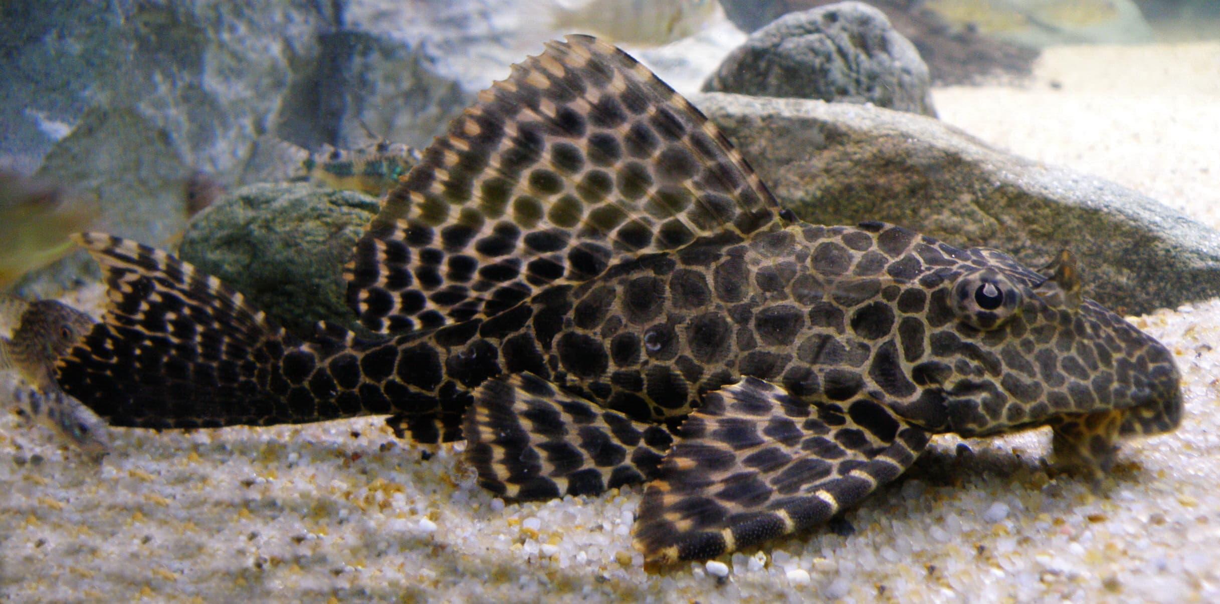 Hình ảnh chú cá tỳ bà, cá lau kiếng có màu sắc đẹp, quý hiếm