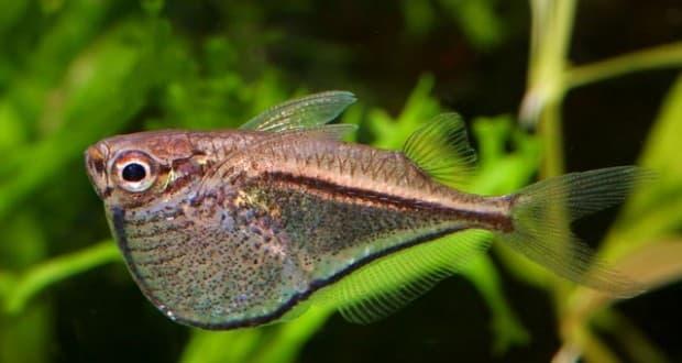 Hình ảnh Cá rìu vạch,cá búa vằn