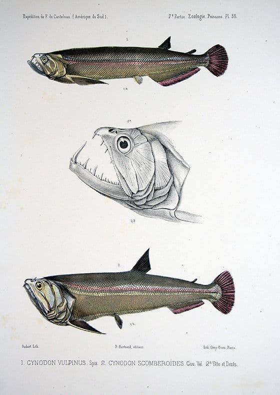 Hình ảnh Cá ma cà rồng payara