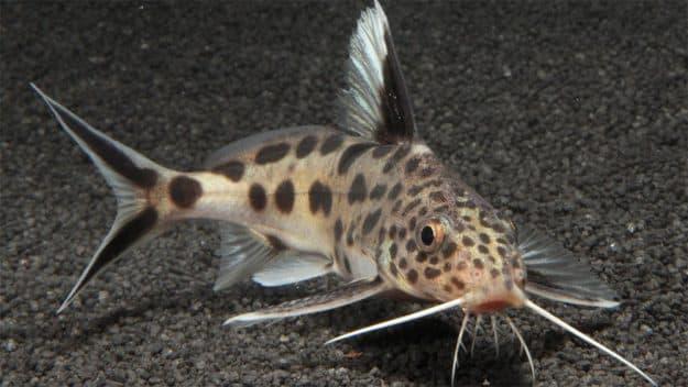 Hình ảnh Cá mèo cu gáy