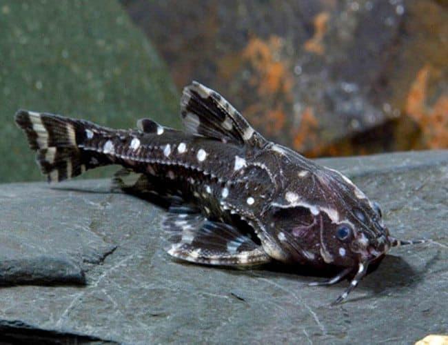 Hình ảnh Cá mèo đốm da trơn
