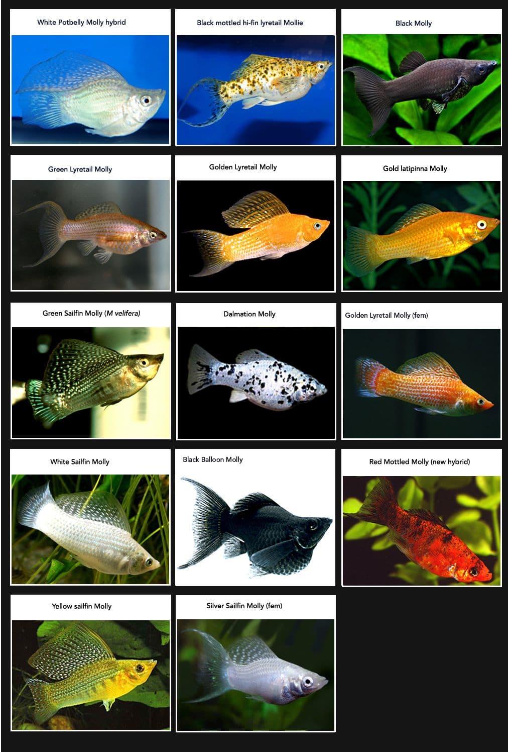 Hình ảnh cá mô ly, cá trân châu, cá bình tích