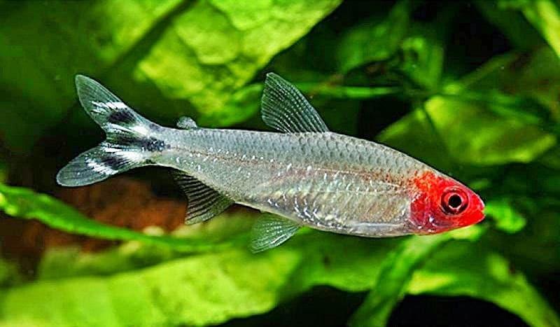 Hình ảnh Cá mũi đỏ, hồng thủ