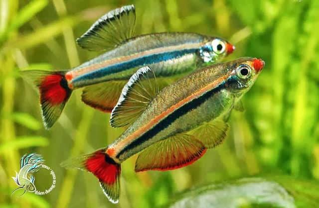 Hình ảnh cá neon Việt Nam